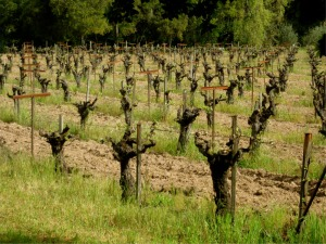 The Compagni Portis Vineyard
